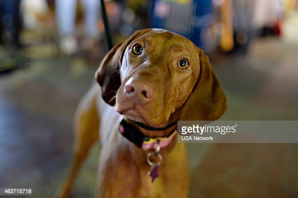 SHOW 'The 139th Annual Westminster Kennel Club Dog Show' at Madison Square Garden in New York City on Tuesday February 17 2014 Pictured Vizsla