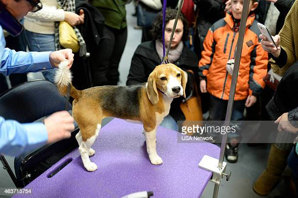 SHOW 'The 139th Annual Westminster Kennel Club Dog Show' at Madison Square Garden in New York City on Tuesday February 17 2014 Pictured Beagle