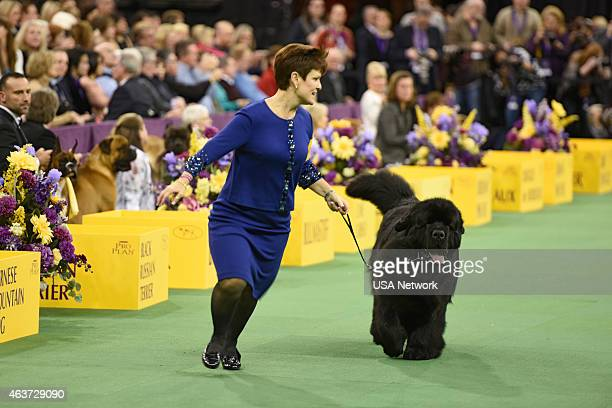 SHOW 'The 139th Annual Westminster Kennel Club Dog Show' at Madison Square Garden in New York City on Tuesday February 17 2014 Pictured Newfoundland