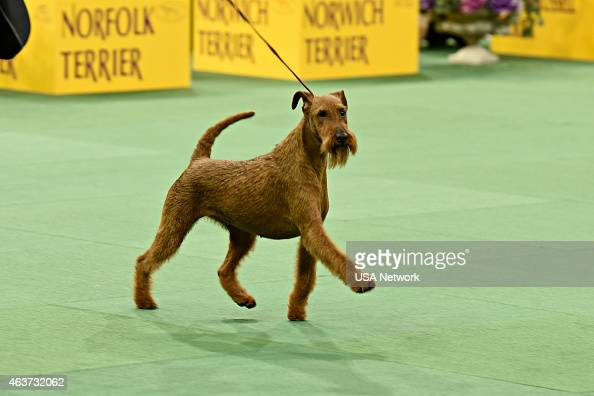 Annual westminster kennel club dog show at madison square garden