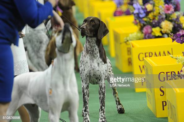 Usa Network 39 S The 140th Westminster Kennel Club Dog Show Photos And Images Getty Images