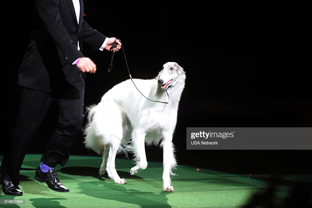 Usa Network 39 S The 140th Westminster Kennel Club Dog Show Getty Images