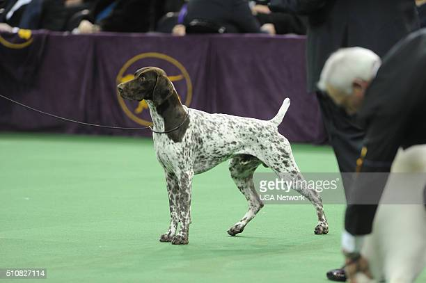 SHOW 'The 140th Annual Westminster Kennel Club Dog Show' at Madison Square Garden in New York City on Tuesday February 16 2016 Pictured Best in Show...
