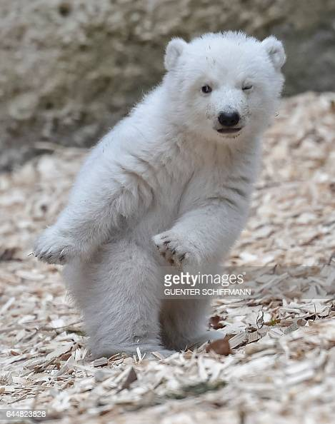 TOPSHOT The 14weekold polar bear is pictured at the zoo Hellabrunn in the southern German city of Munich on February 24 2017 / AFP / GUENTER...