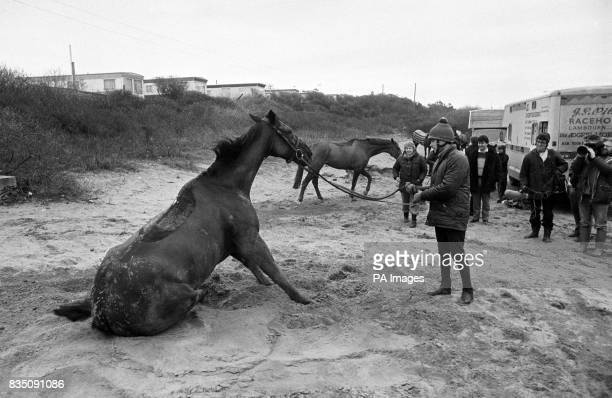 The 1984 Cheltenham Gold Cup winner 'Burrough Hill Lad' rolls on the beach at Burnham today with his reins held by Andrew 'Scobie' Jones as the...
