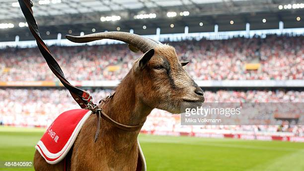 The 1FC Koeln mascot Geissbock Hennes in front of the stadium looks on during the Bundesliga match between 1 FC Koeln and VfL Wolfsburg at...