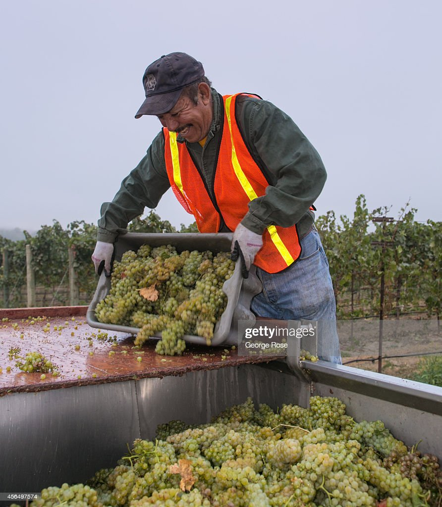 The 2014 grape harvest begins to wind down as vineyard workers pick chardonnay grapes in the early morning hours of September 15, 2014, in Healdsburg, California. Despite some of the warmest and driest weather in recorded history, a water 'State of Emergency' exists for all of California, though it is expected to have little effect on this year's harvest.