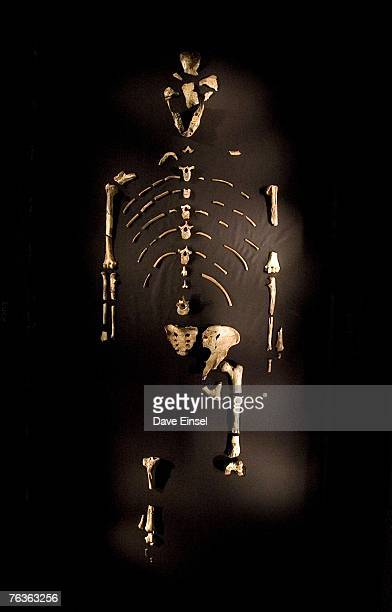 The 32 million year old fossilized remains of 'Lucy' the most complete example of the hominid Australopithecus afarensis is displayed at the Houston...