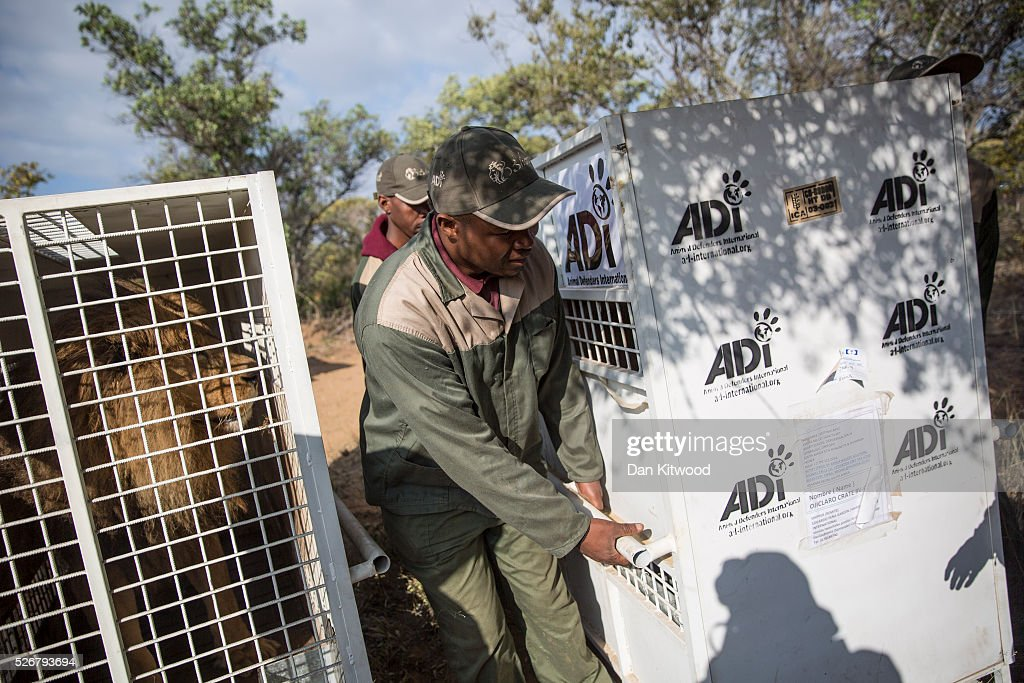 The 33 Lions arrive at the 'Emoya Big Cat Sanctuary' on May 1, 2016 in Vaalwater, South Africa. A total of 33 former circus Lions, 22 males and 11 females from Peru and Columbia were airlifted to South Africa yesterday, before being released today to live out their lives on the private reserve in the Limpopo Province. 24 of the animals were rescued in raids on circuses operating in Peru, with the rest voluntarily surrendered by a circus in Colombia after Colombias Congress passed a bill prohibiting circuses from using wild animals. The trip has been coordinated by the animal rights group 'Animal Defenders International'. The animals have been released into small open areas with natural vegetation, something that many of the animals have never experienced before.