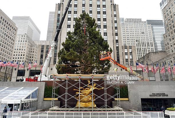 The 78foot tall Rockefeller Center Christmas tree from Gardiner New York is put into place by a crane in Rockefeller Plaza November 6 2015 in New...