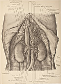 The abdominal aorta is the largest artey in the abdominal cavity 1903 From 'Surgical Anatomy The Treatise of the Human Anatomy and Its Applications...