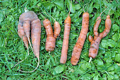 "The abstract word ""MYLLY"" is made from ugly carrots on green grass"