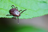 The acarus sits on a green leaf in the forest. Macro