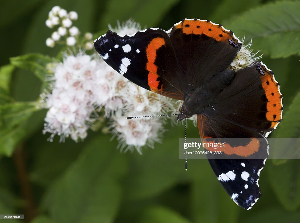 The Admiral butterfly (Vanessa atalanta) : Stockfoto