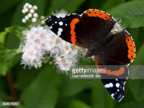 The Admiral butterfly (Vanessa atalanta) : Stock Photo