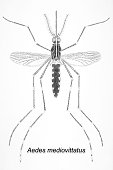 The Aedes mediovittatus mosquito has been shown to be a vector in the transmission of Dengue Fever 1964 Aedes mediovittatus is known to be a...