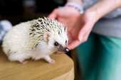 The woman takes the African hedgehog in hand