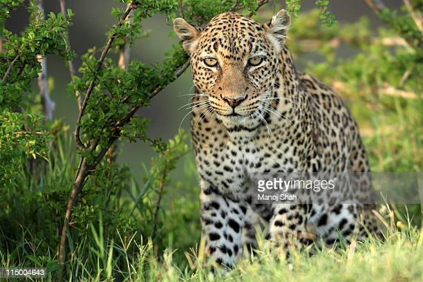 The African Leopard