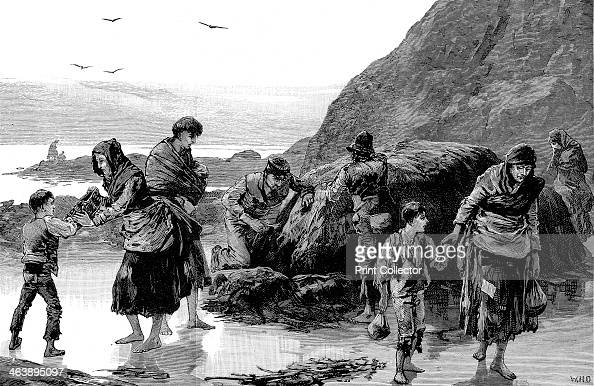 The aftermath of famine Ireland 1886 Distress in Ireland as people Collect limpets and seaweed for food in west of Ireland Failure of the potato crop...