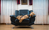 The Airedale terrier dog sleeping in the chair in the living room