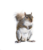 The American gray squirrel is holding legs to his chest. Isolated on white background