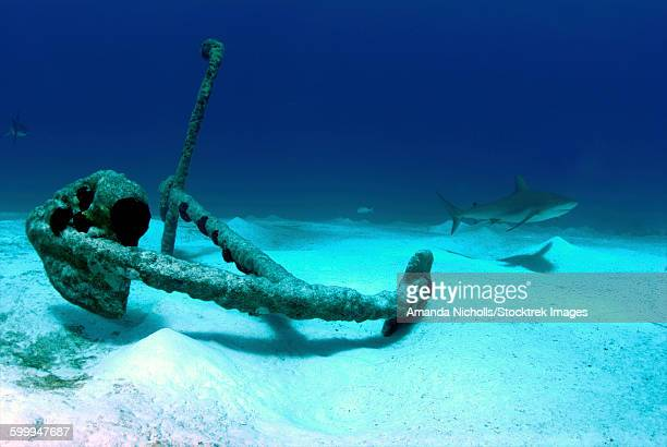 The anchor at Treasure Wreck with a Caribbean reef shark in background, Nassau, The Bahamas.