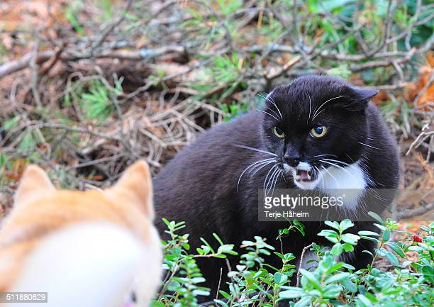 The angry forest cat
