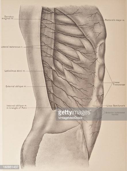 The anterior cutaneous branches of the upper six intercostal nerves pierce the pectoralis major to supply the skin and fascia over this muscle and...