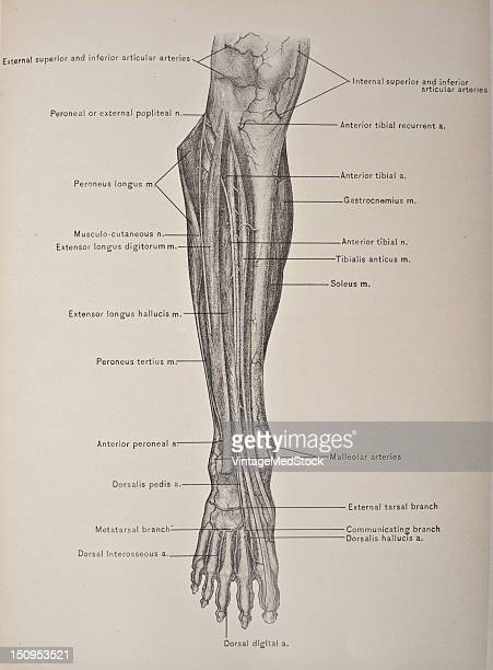 The anterior tibial artery the smaller of the two terminal branches of the popliteal reaches the front of the leg about an inch and a quarter below...