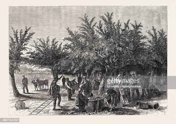 The Apple Harvest In Jersey Drawn By Alfred Slader 1865