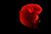 The Art of Siamese fighting betta fish movement black background