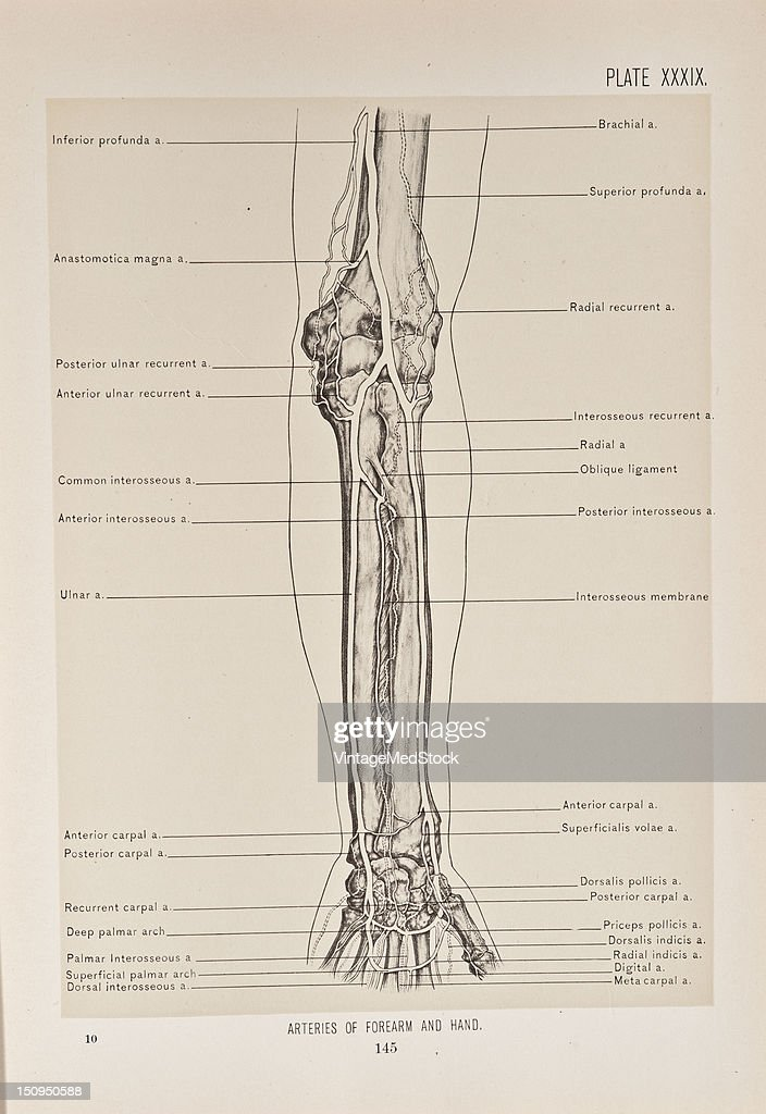 The arteries of the forearm and hand include the inferior profunda anastomotica magna posterior ulnar recurrent anterior ulnar recurrent common...