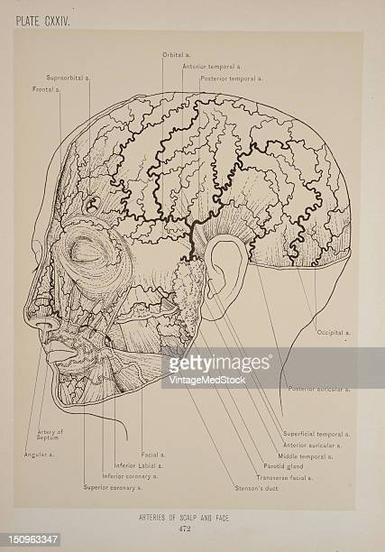The arteries of the scalp are derived in front from the supraorbital and frontal arteries on the sides from the temporal and behind from the...
