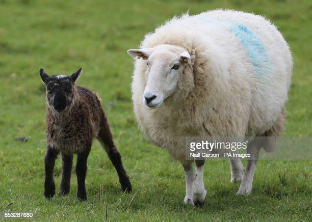 The as yet unnamed Geep with its mother on Paddy Murphy's farm in Ballymore Eustace Co Kildare