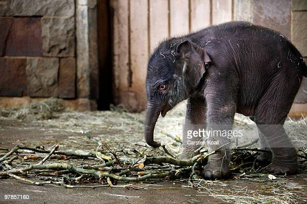 The asian elephant cub Bimas eats at Tierpark Friedrichsfelde on March 19 2010 in Berlin Germany The baby was born by his mother Cynthia on March 15...