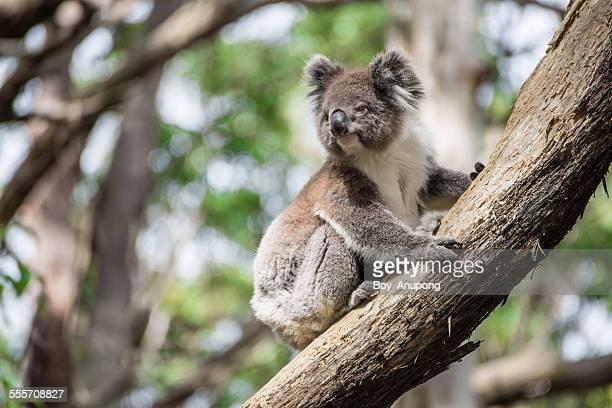 The Australia koala