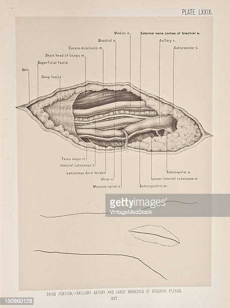The axillary artery begins at the lower border of the first rib and extends as far as the lower margin of the tendon of the teres major muscle 1899...
