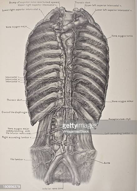 The azygos vein is a vein running up the right side of the thoracic vertebral column 1903 From 'Surgical Anatomy The Treatise of the Human Anatomy...