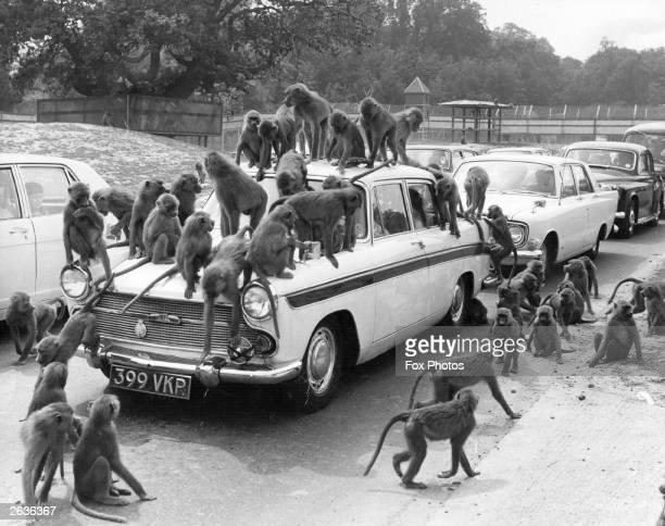 The baboons at Windsor Safari Park crowd a car