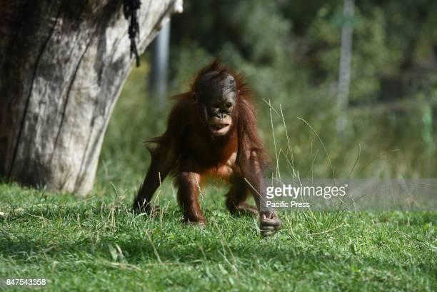 The baby Borneo orangutan Sabah pictured at Madrid zoo
