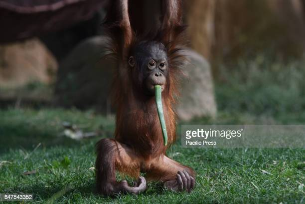 The baby Borneo orangutan Sabah pictured playing at Madrid zoo
