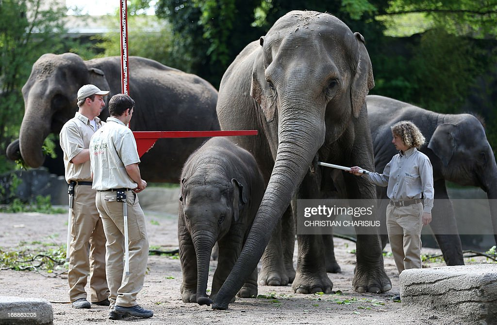 The baby elephant Assam (C) is measured at the annual inventory in the Hagenbeck Zoo in Hamburg on May 16, 2013. AFP Photo / Christian Charisius /GERMANY OUT