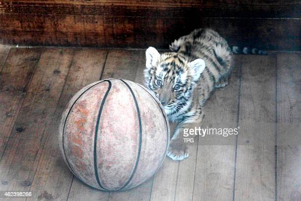 The baby south China tiger which being abused before having a happiness life in zoo on 28th January 2015 in Nanchang Jiangxi China