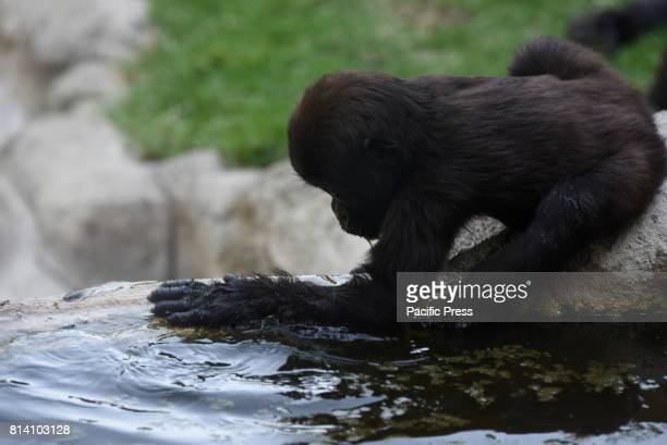 The baby Western lowland gorilla 'Yamila' cooling off with water at Madrid zoo where high temperatures reached up 40º degrees during the afternoon...