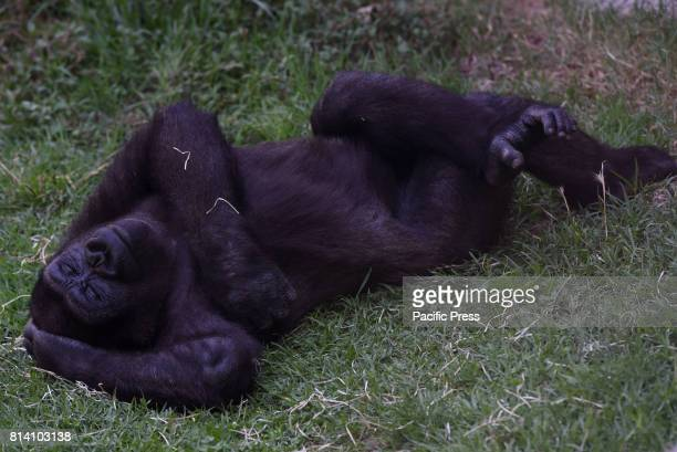 The baby Western lowland gorilla 'Yangú' pictured sleeping at Madrid zoo where high temperatures reached up 40º degrees during the afternoon hours