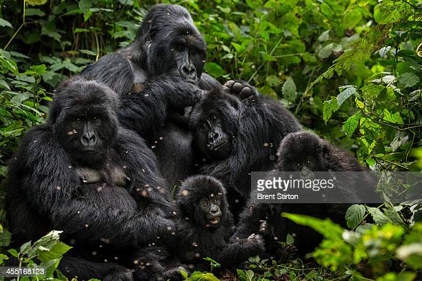The Bageni family in the gorilla sector of Virunga National Park on August 6 2013 in Bukima DR Congo The gorilla sector is currently occupied by the...