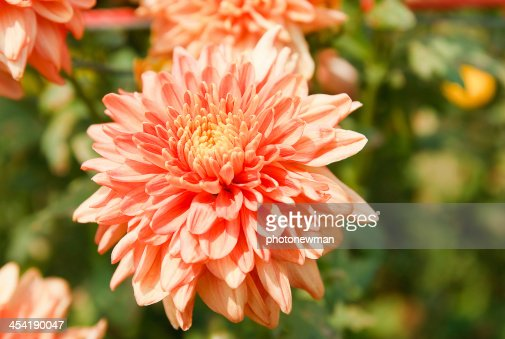 the beautiful of Chrysanthemum flowers : Stock Photo