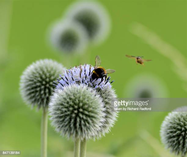 The bee and the wasp on a globe thistle