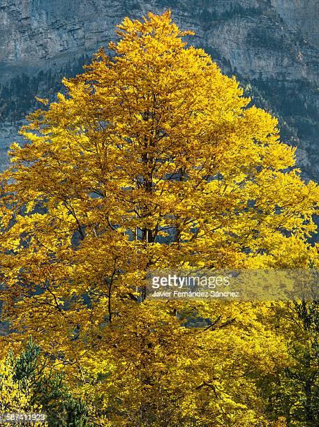 The beech tree in Autumn