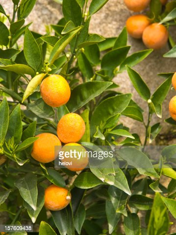 Bergamot Stock Photos and Pictures | Getty Images